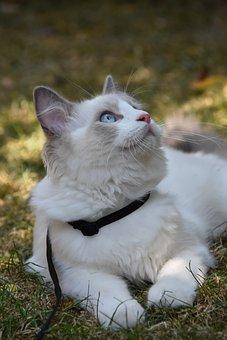 Ragdoll, Cat, Pet, Hairy, Kitten, Laying Down, Garden