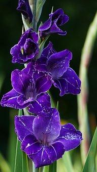 Nature, Garden, Flowers, Gladiolus, Blue-purple, Light