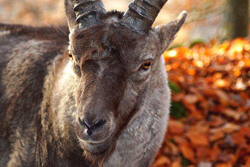 Bock, Animal, Nature, Animal World, Head, Face