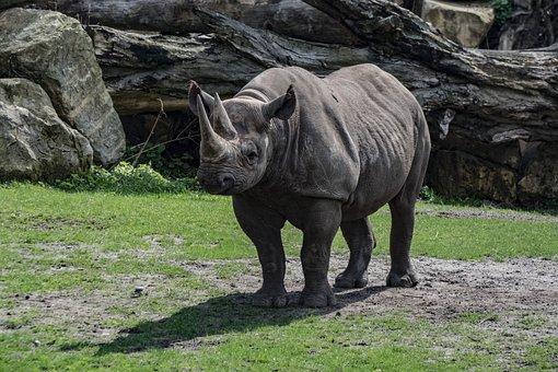 Rhino, Zoo, Animal, Pachyderm, Big Game, Horn, Mammal
