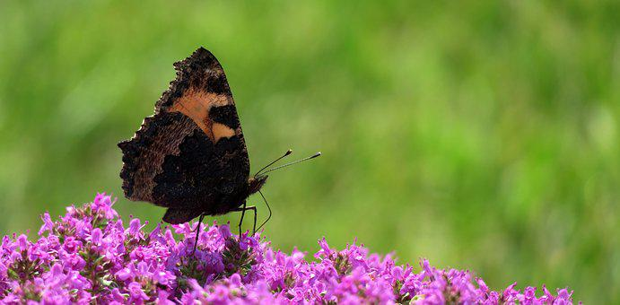 Little Fox, Butterfly, Insect, Butterflies
