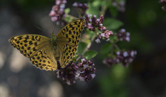 Butterfly, Blossom, Bloom, Nature, Flower, Insect