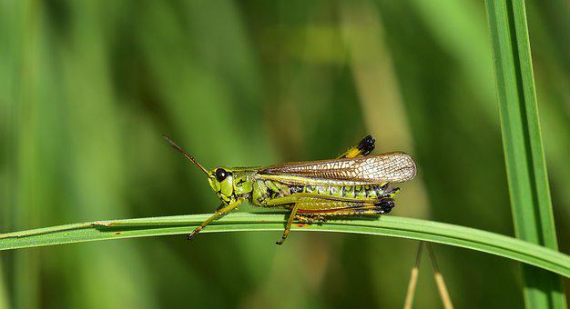 Grasshopper, Insect, Close Up, Nature, Green