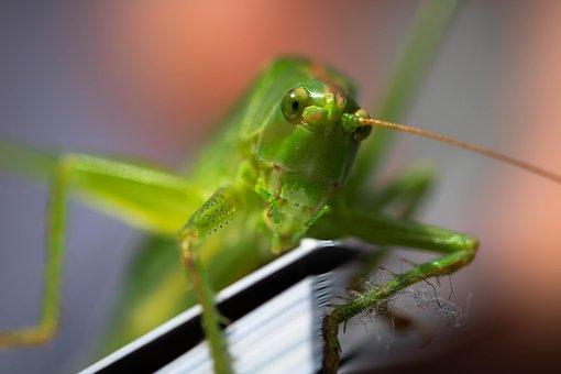 Viridissima, Grasshopper, Macro, Nature, Insect, Green