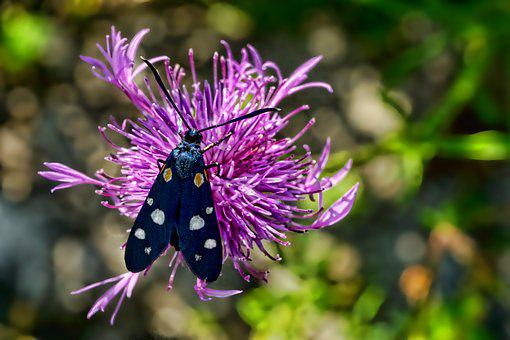 Nature, Insect, Butterfly, Nine-spotted Moth