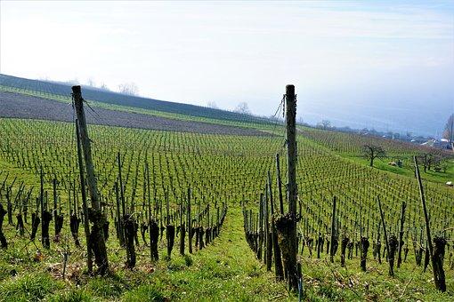 Vineyard, Wine, Lake Constance, Hagnau, Meersburg