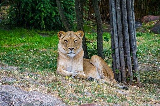 Lioness, Lion, Africa, Predator, Animal, Safari, Nature