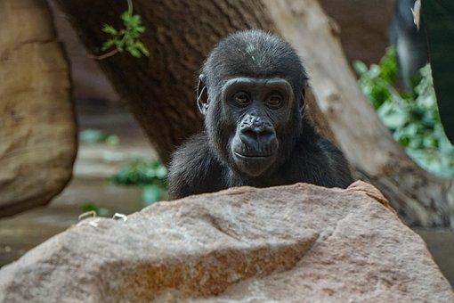 Chimpanzee, Baby Chimp, Zoo, Mammal, Monkey, Cute