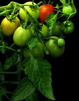 Tomato, Maturing, Green Tomato, Tomato Red