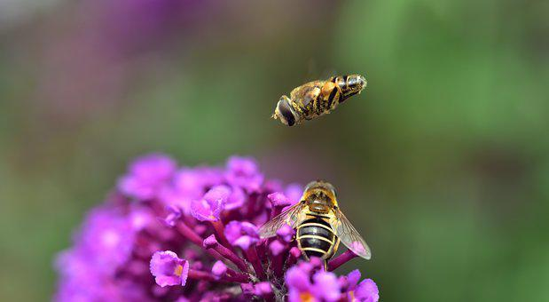 Medium Wedge, Spot Hover Fly, Eristalis Interrupta