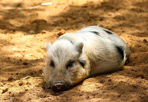 Animals, Pig, Piglet, Farm, Miniature Pig, Break, Rest