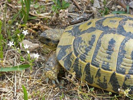 Mediterranean Tortoise, Montsant Natural Park