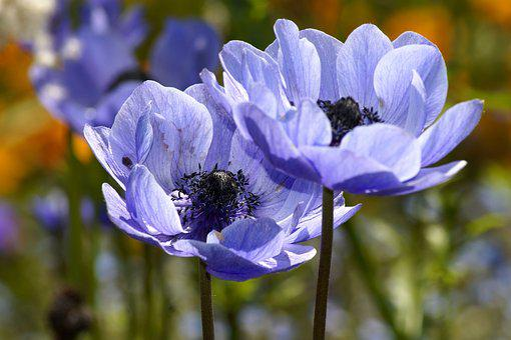 Anemone, Blue, Blue Anemones, Flower, Flora, Nature