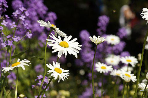 Daisies, Flower Meadow, Wild Flowers, Nature