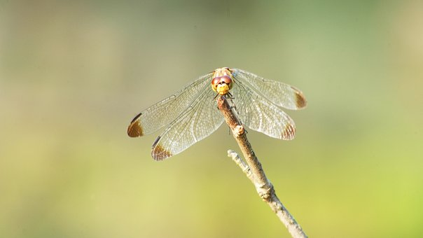 Dragonfly, Red Dragonfly, Autumn, Insects, Nature, Wing