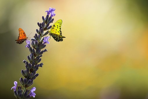 Nature, Animal World, Flower, Lavender, Butterfly