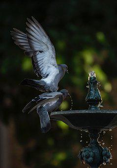 Water, Pigeons, Nature, Drinking, Playing, Bathing