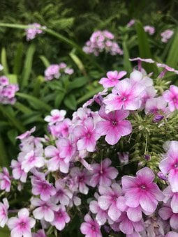Texas Native Phlox, Flower, Blossom, Bloom, Pink