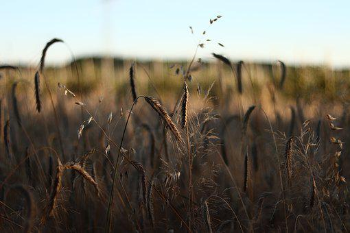 Barley, Cereals, Agriculture, Plant, Grain, Cornfield