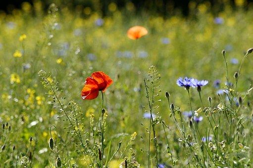 Flower Meadow, Summer, Flowers, Poppy, Cornflower