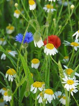 Meadow, Chamomile, Cornflower, Poppy, Nature, Flower