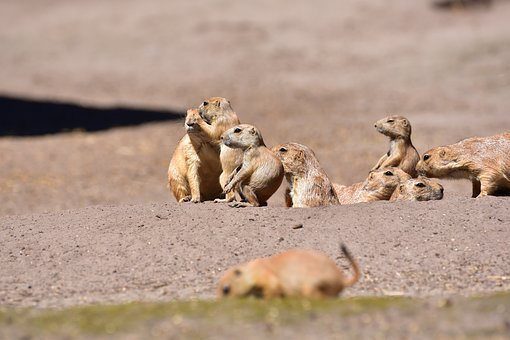 Prairie Dogs, Young Animal, Guard, Pack, Rodents