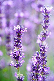 Lavender, Lavender Flowers, Flowers, Violet, Purple