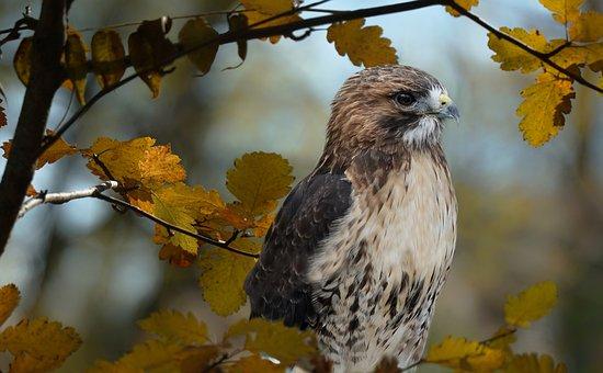 Red Tailed Hawk, Hawk, Nature, Raptor, Birds