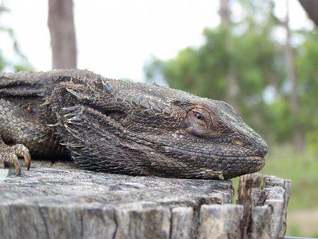 Lizard, Dragon, Ancient, Reptile, Frilled Neck, Old