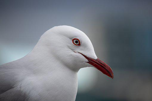 Seagull, Closeup, Portrait, Wildlife, Head, Beak