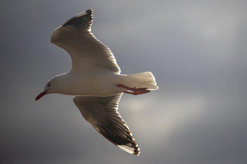 Seagull, Flying, Bird, Fly, Animal, Wing, Nature