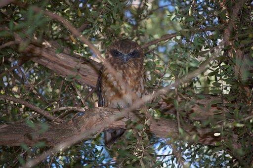 Southern Boobook Owl, Australia, Bushland