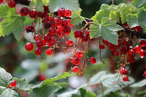 Red Current, Berry, Summer, Plant, Shrub, Colorful