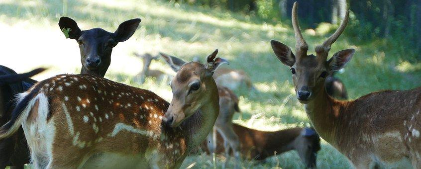 Nature, Forest, Deer, Enclosure, Sun, Shadow, Heat