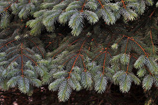 Coniferous, Twigs, Branch, Spruce, Green, Pine