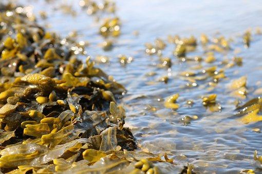 Seaweed, Sea, Water