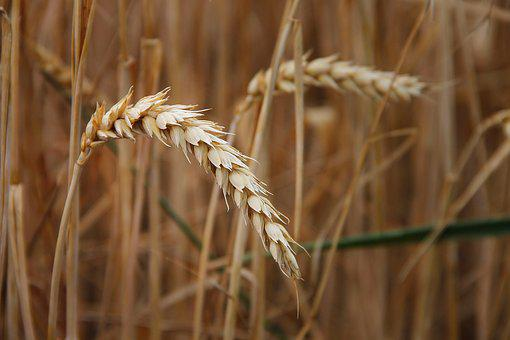 Wheat, Ear, Cereals, Grain, Field, Wheat Grains