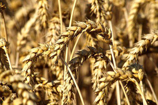 Wheat, Cereals, Harvest, Grain, Nature, Summer
