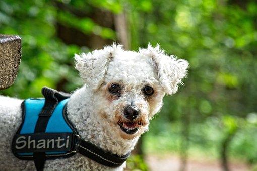 Dog, Bichon Frise, Animal, White, Pet, Bichon, Portrait