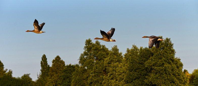 Goose, Waterbird, Bird, Animal, Wildlife, Flight