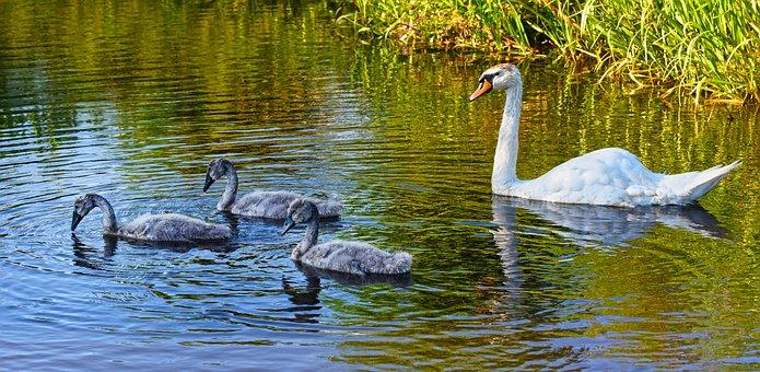 Swan, Cygnet, Chicks, Water Bird, Animal, Young, Family