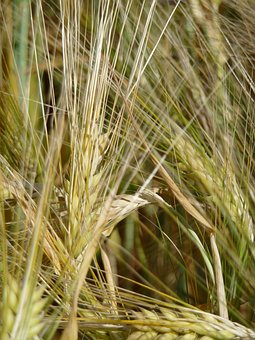 Grain, Wheat, Harvest, Agriculture, Cereals, Nature