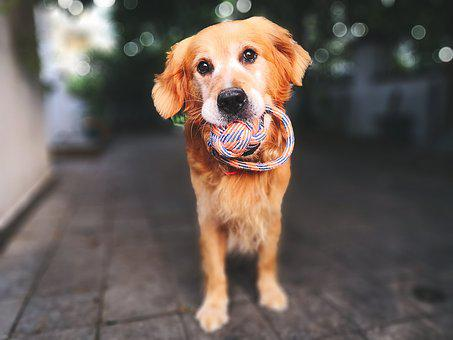 Dog, Animal, Pets, Purebred, Golden, Retriever