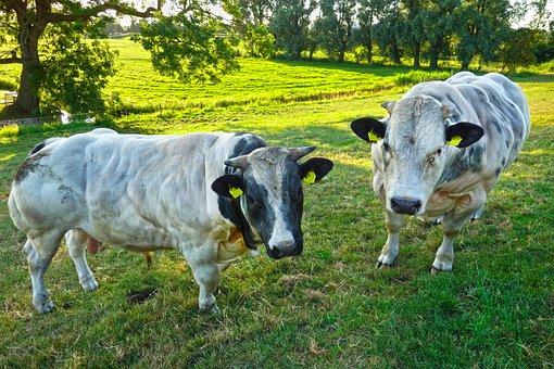 Bull, Cattle, Mammal, Animal, Livestock, Belgian Blue
