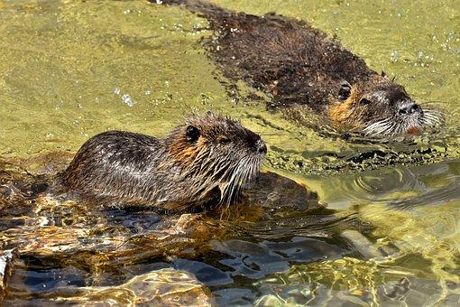 Nutria, Water Rat, Water, Paddling, Animal World
