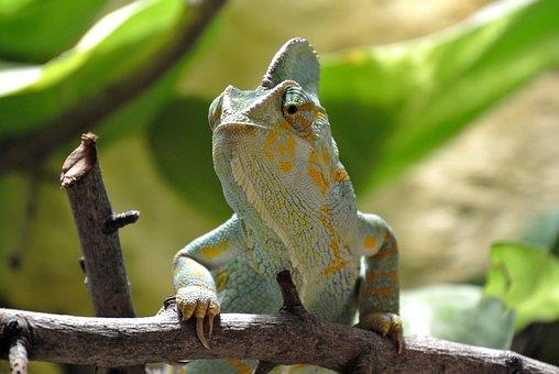 Chameleon, Reptile, Animal, Close Up, Animal World