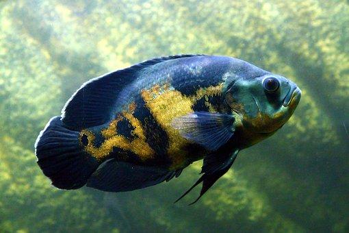 Astronotus, Fish, Cichlid, Aquarium, Undersea World