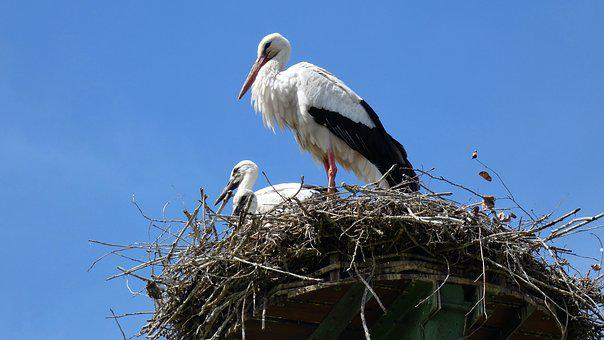 Stork, Nest, Chick, Baby, Flock