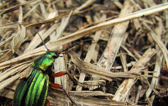 Carabus Auronitens, Cetonia Ground Beetles, Beetle