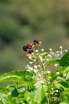 Blackberry, Bush, Berries, Leaves, Bramble, Fruit